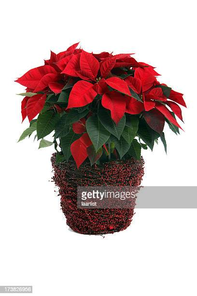 a poinsettia plant on a white background - christmas star stock photos and pictures