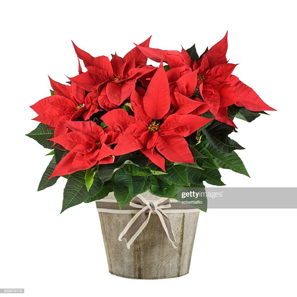 poinsettia plant : Stock Photo