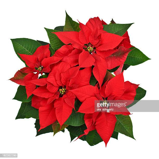 poinsettia plant top view - christmas star stock photos and pictures