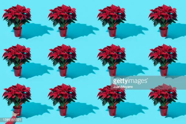 poinsettia plants in flowerpots - ornamental plant stock pictures, royalty-free photos & images