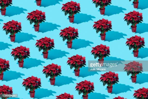 poinsettia plants mosaic - ornamental plant stock pictures, royalty-free photos & images