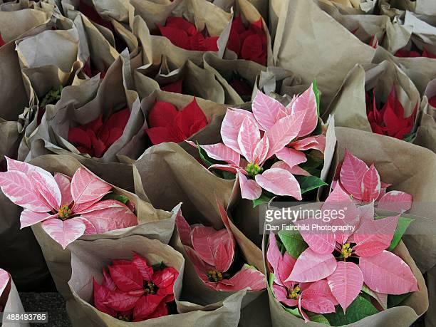 poinsettias, bagged for sale on the street - flor de pascua fotografías e imágenes de stock