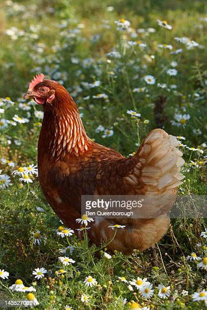 point of lay pullet chicken or hen in a field - アマシャム ストックフォトと画像