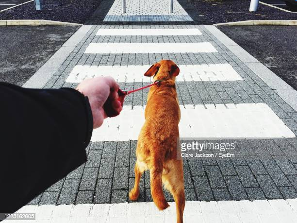 a point of view of a dog pulling hard on a leash across a pedestrian crossing on street - 盲導犬 ストックフォトと画像