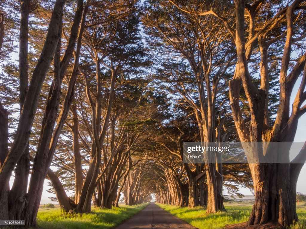 Point Reyes Cypress Tree Tunnel at Golden Hour : Stock Photo
