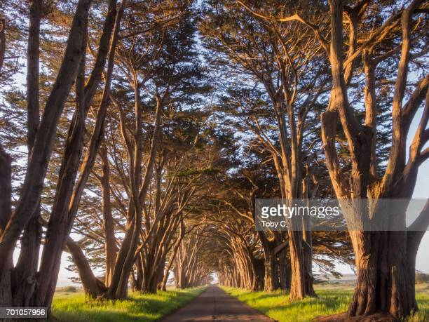 Point Reyes Cypress Tree Tunnel at Golden Hour