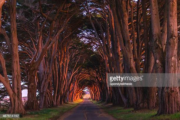 Point Reyes Cypress Tunnel at Sunset