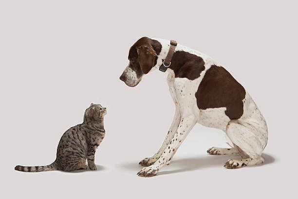 Pointer looking down at cat