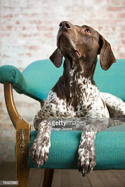 pointer on a chair - german shorthaired pointer stock pictures, royalty-free photos & images