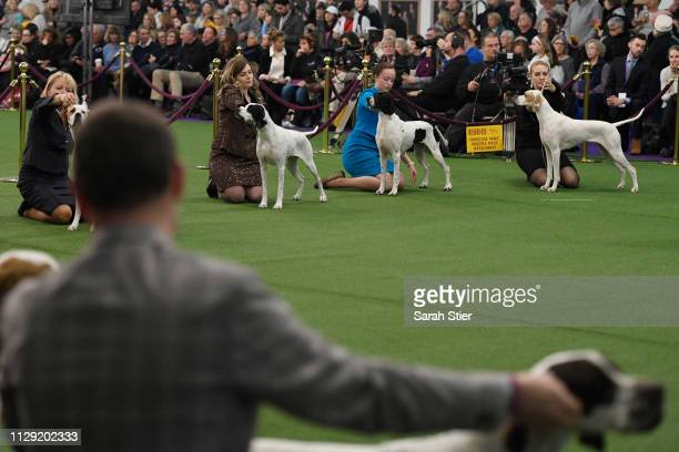 Pointers compete during Breed Judging at the 143rd Westminster Kennel Club Dog Show at Piers 92/94 on February 12 2019 in New York City