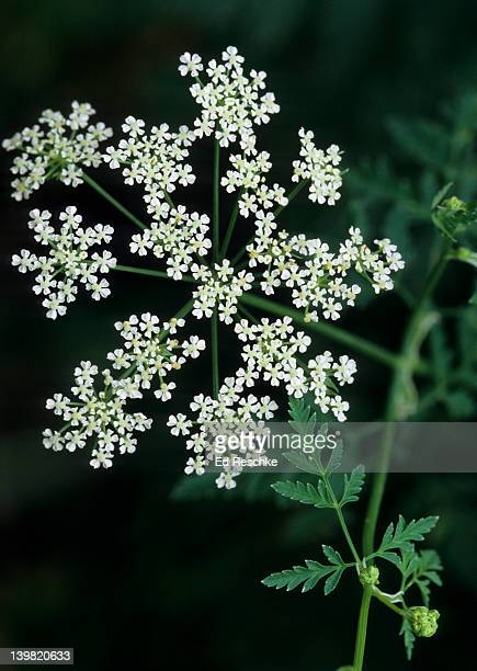 poison hemlock. conium maculatum. umbel (inflorescence). eurasia, biennial, widely introduced throughout eastern u.s. used to murder socrates. michigan - poison hemlock stock pictures, royalty-free photos & images