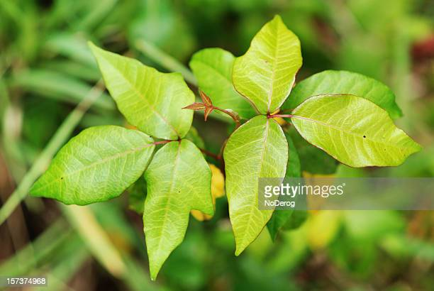 poison ivy leaves - poison oak stock pictures, royalty-free photos & images