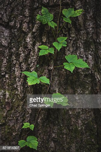 Poison Ivy Vine Growing On Tree Trunk Stock Photo Getty