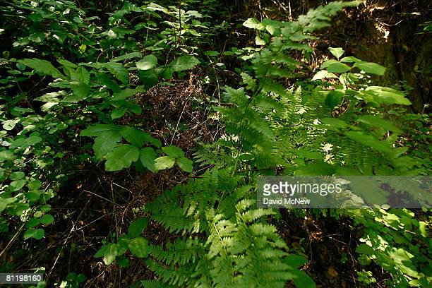 Poison oak and ferns grow in Santa Ynez Canyon in Topanga State Park on May 21 2008 in Los Angeles California California's entire state park system...