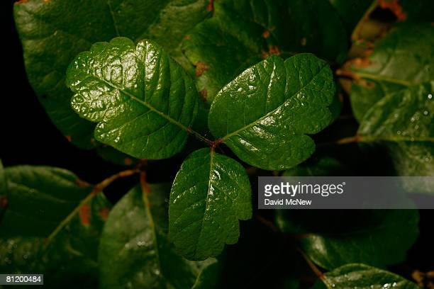 Poison oak grows in Santa Ynez Canyon in Topanga State Park on May 21 2008 in Los Angeles California California's entire state park system the...