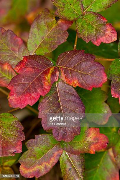 poison oak leaves turing scarlet - poison oak stock pictures, royalty-free photos & images