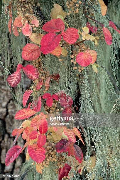 poison oak mingled with moss - poison oak stock pictures, royalty-free photos & images