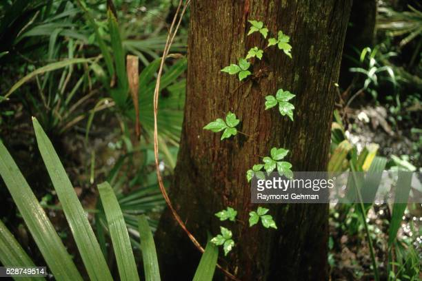 poison oak vine on cypress trunk - poison oak stock pictures, royalty-free photos & images