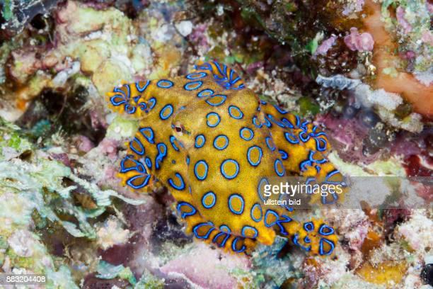 Poisonous Blue Ring Octopus Hapalochlaena lunulata Ambon Moluccas Indonesia