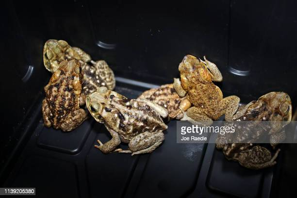 Poisonous cane toad also known as bufos are seen in a box after Jeannine Tilford of Toad Busters a toad removal company based in South Florida...