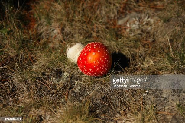 poisonous mushrooms in botanical garden, cluj-napoca, transylvania, romania. - muscari armeniacum stock pictures, royalty-free photos & images