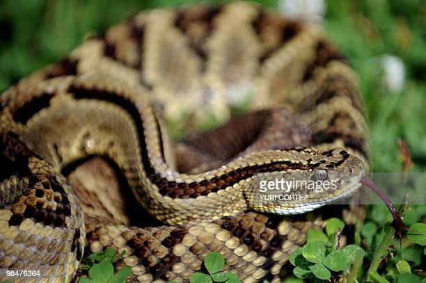 A poisonous neotropical rattlesnake is pictured on April 12 2010 at the serpentarium of the Clodomiro Picado Institute in Coronado some 8 kilometers...