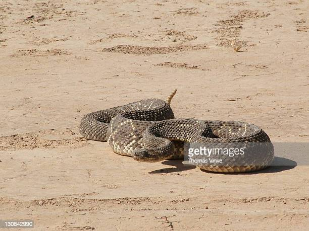 poisonous rattlesnake (crotalus durissus terrificus) ready for an attack - ugly spiders stock photos and pictures