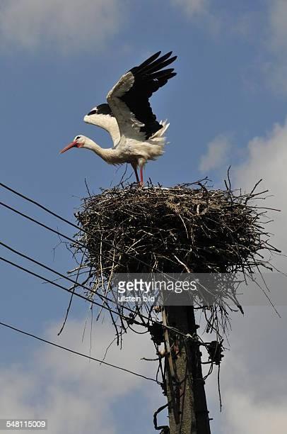 Poland Warminsko Mazurskie WarmiaMasuria Gizycko stork on his nest