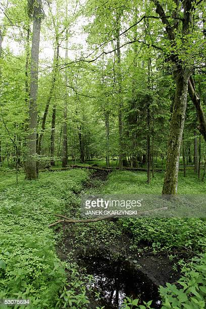 "Poland's Bialowieza primeval forest takes eco-tourists back centuries"" Picture shows the heart of Bialowieza forest 12 June 2005. Bialowieza forest..."