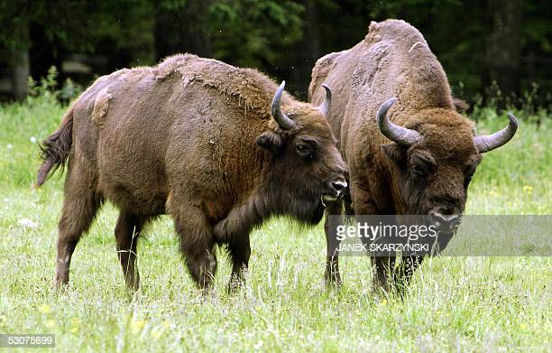 "Poland's Bialowieza primeval forest takes eco-tourists back centuries"" Bisons are pictured in Bialowieza forest in northeastern Poland 12 June 2005...."