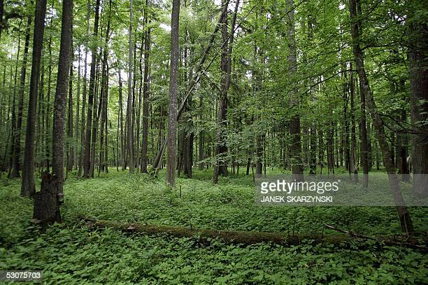 "Poland's Bialowieza primeval forest takes eco-tourists back centuries"" Picture taken 12 June 2005 shows the heart of the Bialowieza forest...."