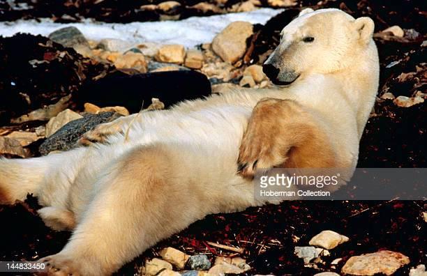 Polar Bear Alaska Arctic USA