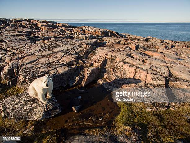 polar bear along repulse bay, nunavut, canada - hudson bay stock photos and pictures