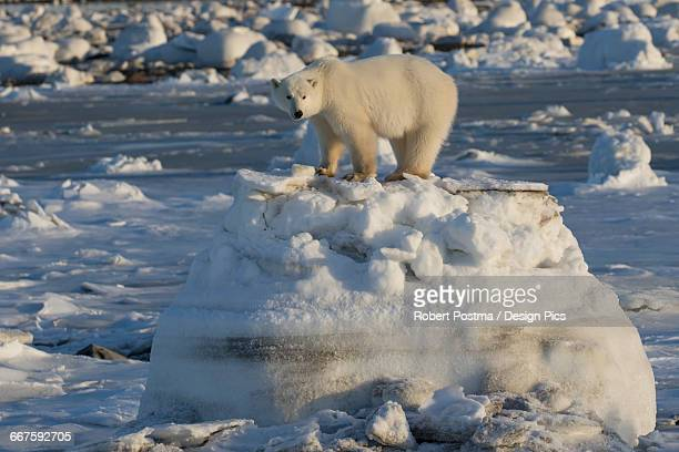 polar bear (ursus maritimus) along the hudson bay coast waiting for the bay to freeze over - hudson bay stock photos and pictures