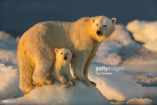 Polar Bear and Cub, Repulse Bay, Nunavut, Canada