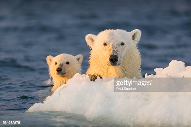 polar bear and cub swimming by sea ice, repulse bay, nunavut, canada - polar bear stock pictures, royalty-free photos & images