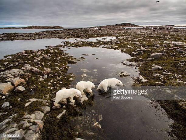 Polar Bear and Cubs along Repulse Bay, Nunavut, Canada