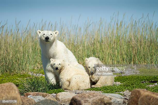 Polar Bear and Cubs, Hudson Bay, Manitoba, Canada