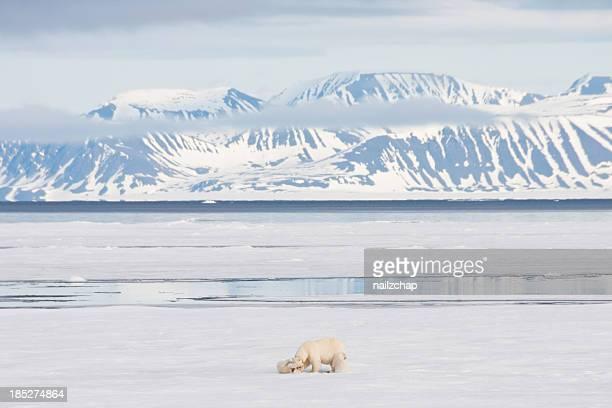 Orso polare e mare artico Cubs su ghiaccio