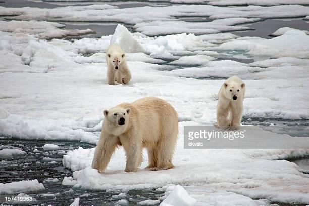 Polar Bear and cubs on ice