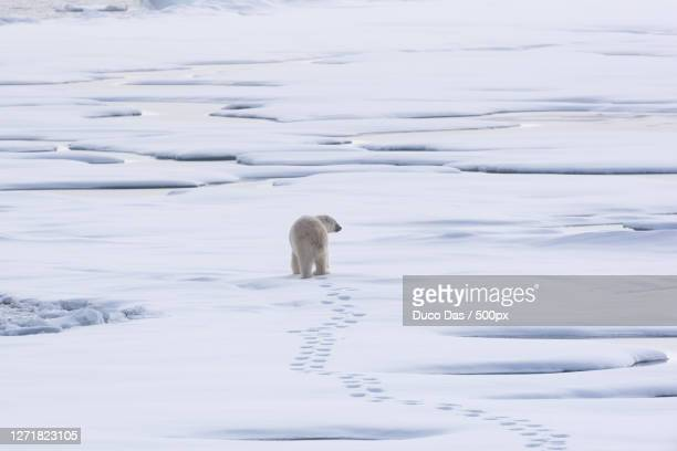a polar bear and its babies, longyearbyen, svalbard and jan mayen islands - pack ice stock pictures, royalty-free photos & images