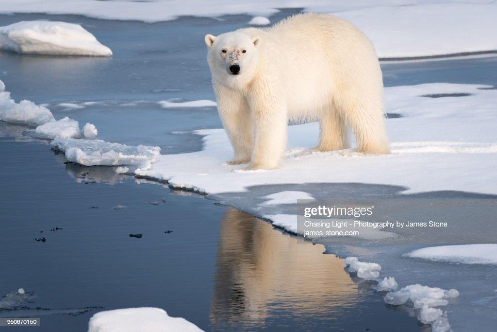 Polar Bear at the ice edge : Stock-Foto