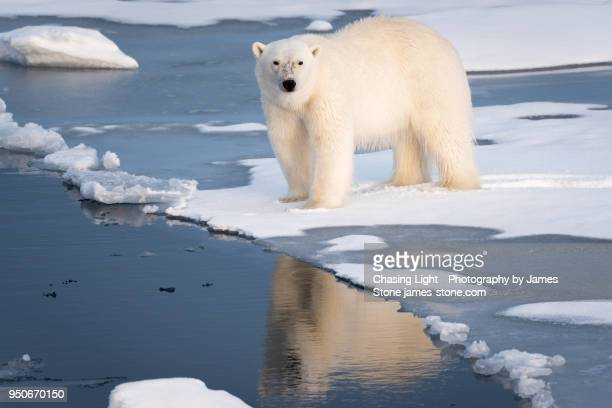 polar bear at the ice edge - ijsschots stockfoto's en -beelden