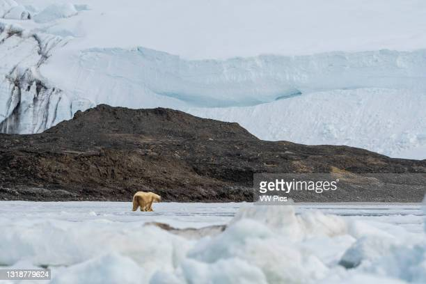 Polar bear , Barents Island, Svalbard Islands, Norway..