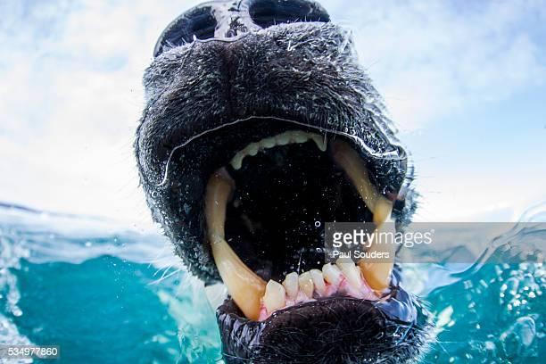 polar bear biting underwater camera dome, nunavut, canada - boca animal - fotografias e filmes do acervo