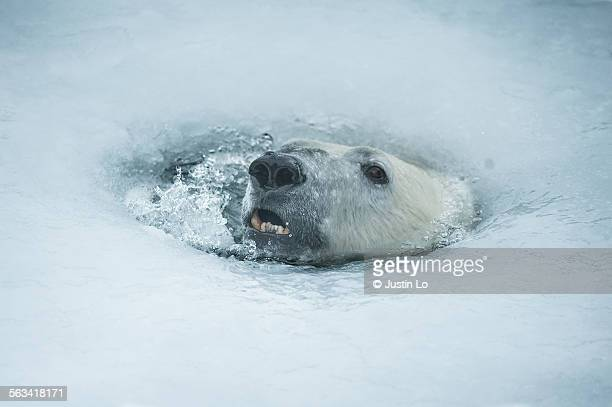 Polar bear breathing hole