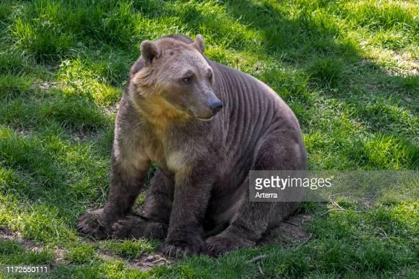 Polar bear - brown bear hybrid / polar bear-grizzly bear hybrid also called grolar bear / pizzly bear / nanulak, rare ursid hybrid.