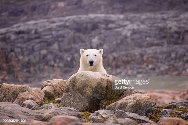 polar bear by rocks - baffin island stock pictures, royalty-free photos & images