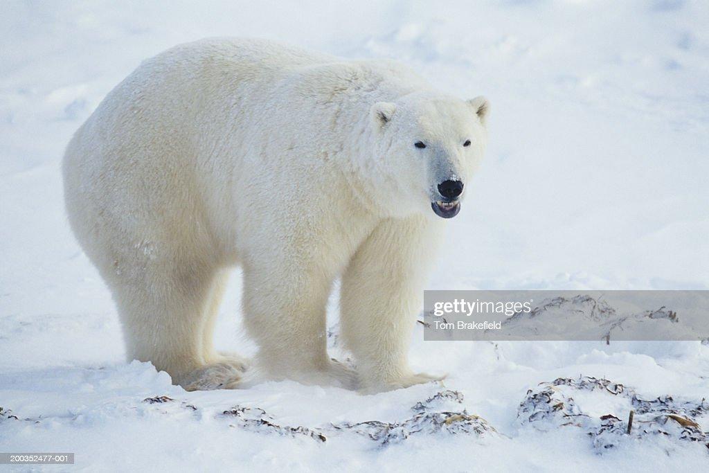 Polar bear (Ursus maritimus), Canada : Stock Photo