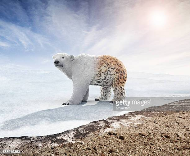 Polar bear changing hair like a leopard